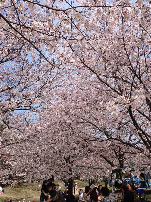 桜が満開の写真